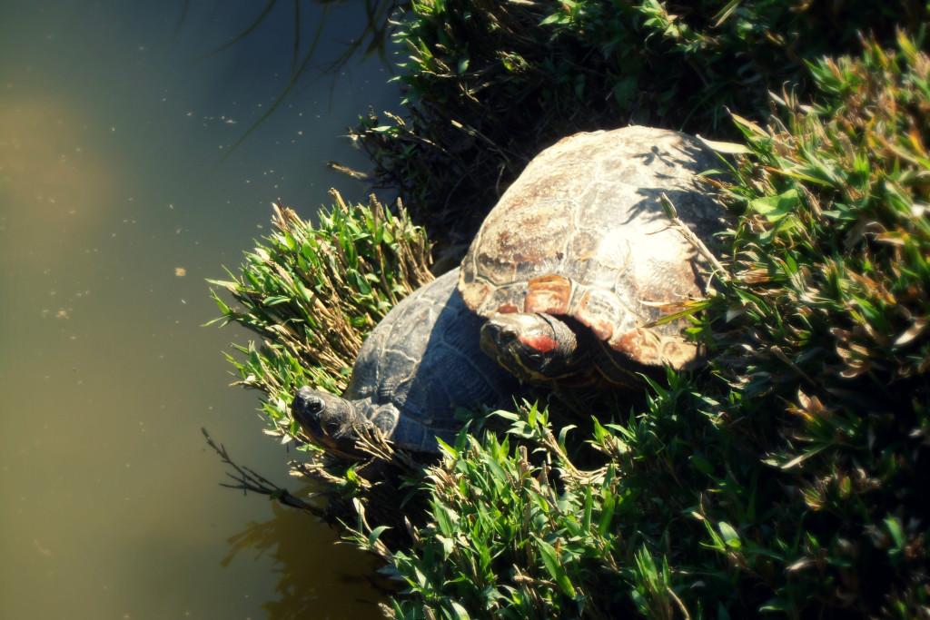 черепах в парке Виченцы